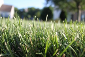 A number of lawn pests make their mark in mid-summer. Check conditions carefully since a number of conditions can show similar symptoms.