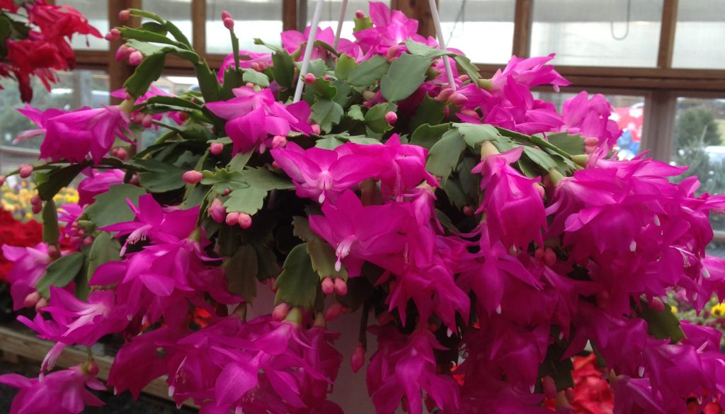 mm-holiday-cactus-img_9490