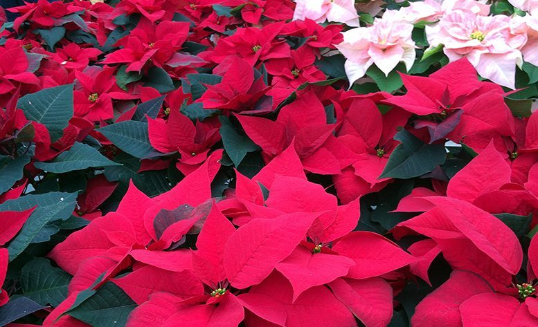 group-poinsettas