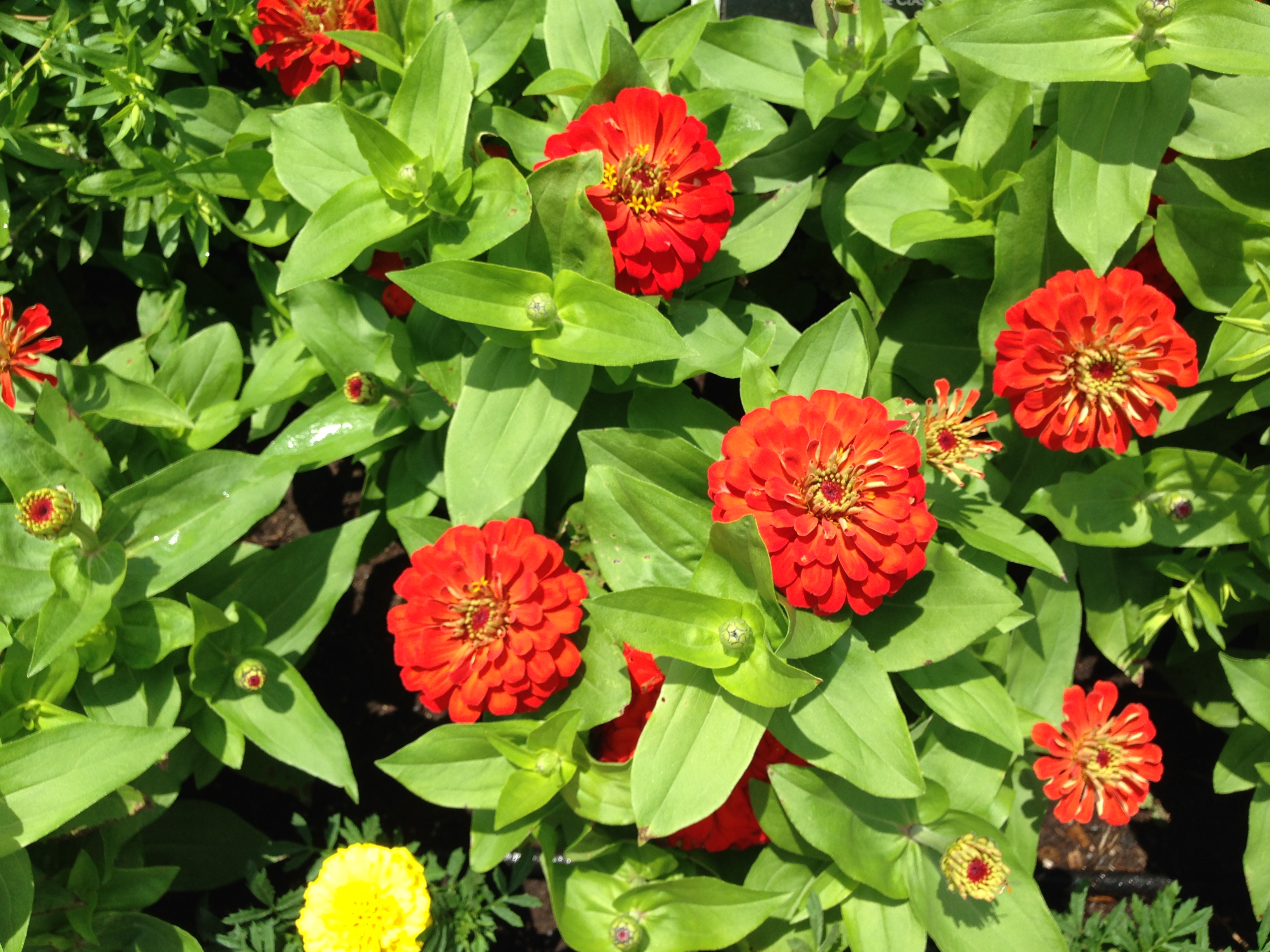 A summer long punch of color growing annuals in the garden zinnia are among the annuals that benefit from deadheading which will help the plants remain attractive keep them from going to seed and increase flower izmirmasajfo