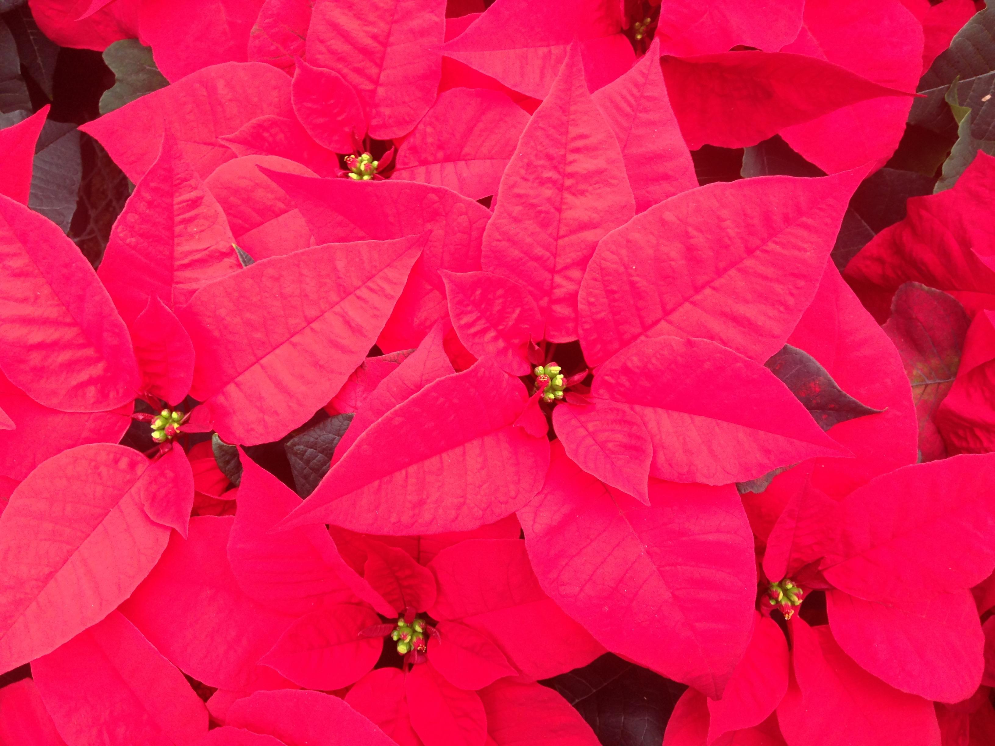 Divas Of December Winter Blooming Plants Rutgers Master Gardeners